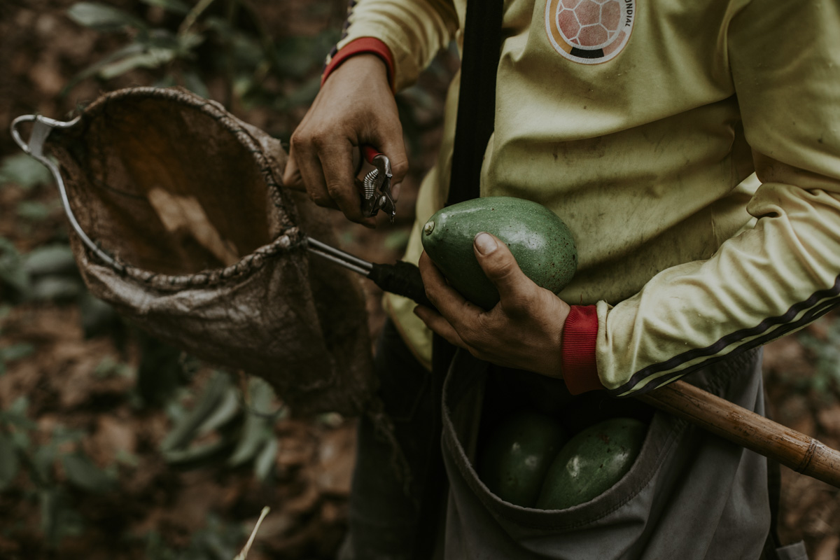 This close up of a worker's brown hands holding the avocado and the shiny pruning shears, the only two objects in this image free from the markings of use. Surrounding them, we see a well worn path, a hard worn football jersey, the dirt under his nails. Through this man's labor, we witness commodities in various phases of their own life cycles.