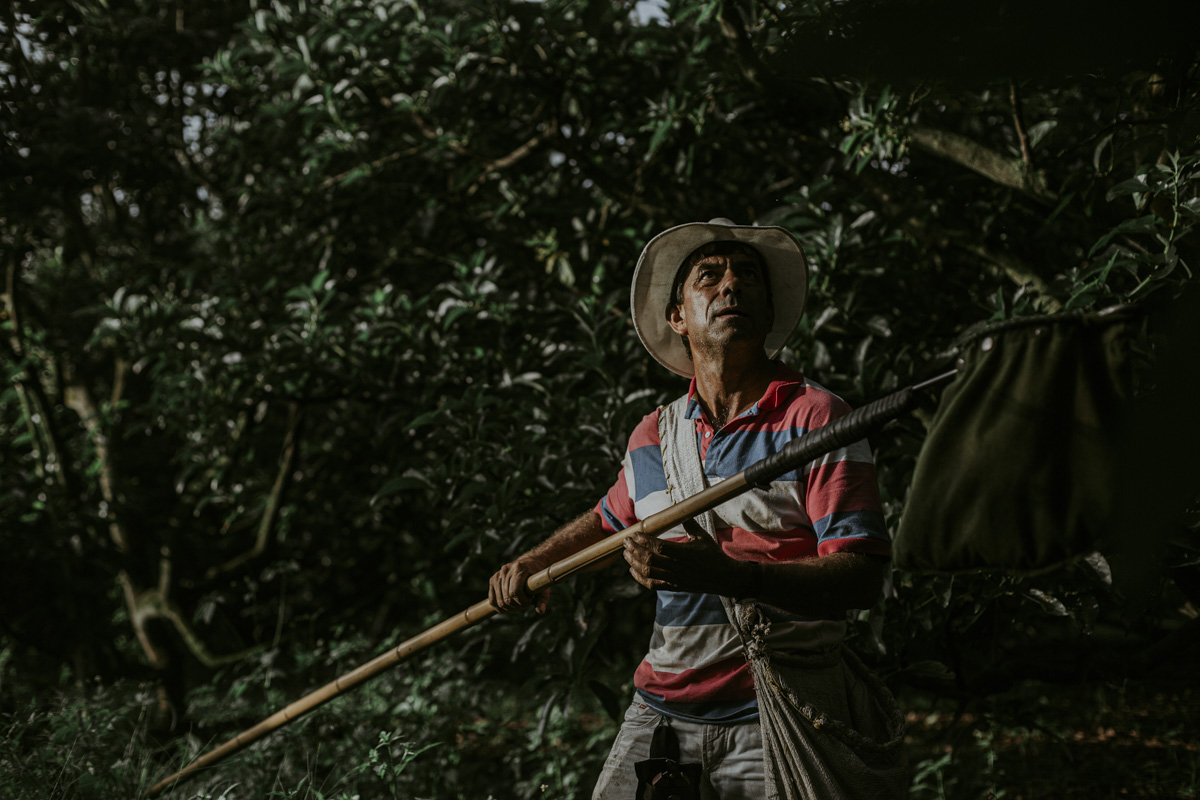In this action shot, the work of the man from the portrait is dramatized by the light filtering through the thicket of trees. He looks up, searching for his next target, while holding a fruit picker; a green collection bag affixed with black electrical tape to a ten foot long bamboo rod. He deposits his load into the fabric satchel hanging across his chest.