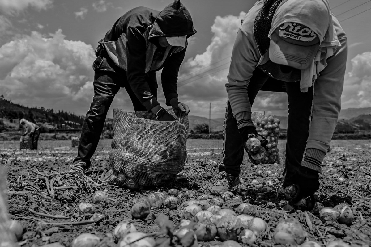 This action shot shows two men working in tandem, bent to the ground as they engage in the labor of global commodities. The man closer to us, in an Abercrombie and Fitch 'University' cap, is pulling onions from the ground and leaving them on the ground. The man, with a hoodie pulled over his cap, follows behind, depositing the freshly harvested onions  into a half full mesh bag.