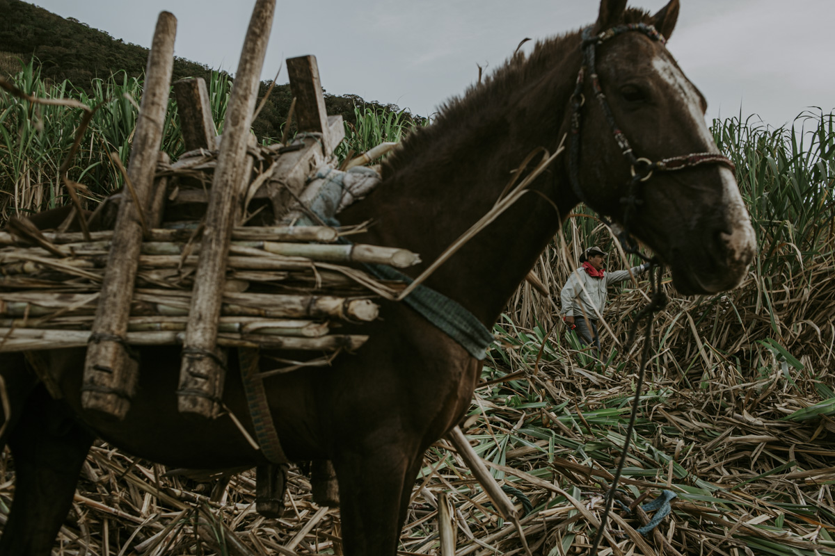 This profile view of a brown mule situates us in its eyeline. It is watching us as it stands amid a scattered ground of freshly cut sugar cane. Affixed to its back is a wood contraption, where the harvested sugar cane will soon be loaded for a trip to the factory.