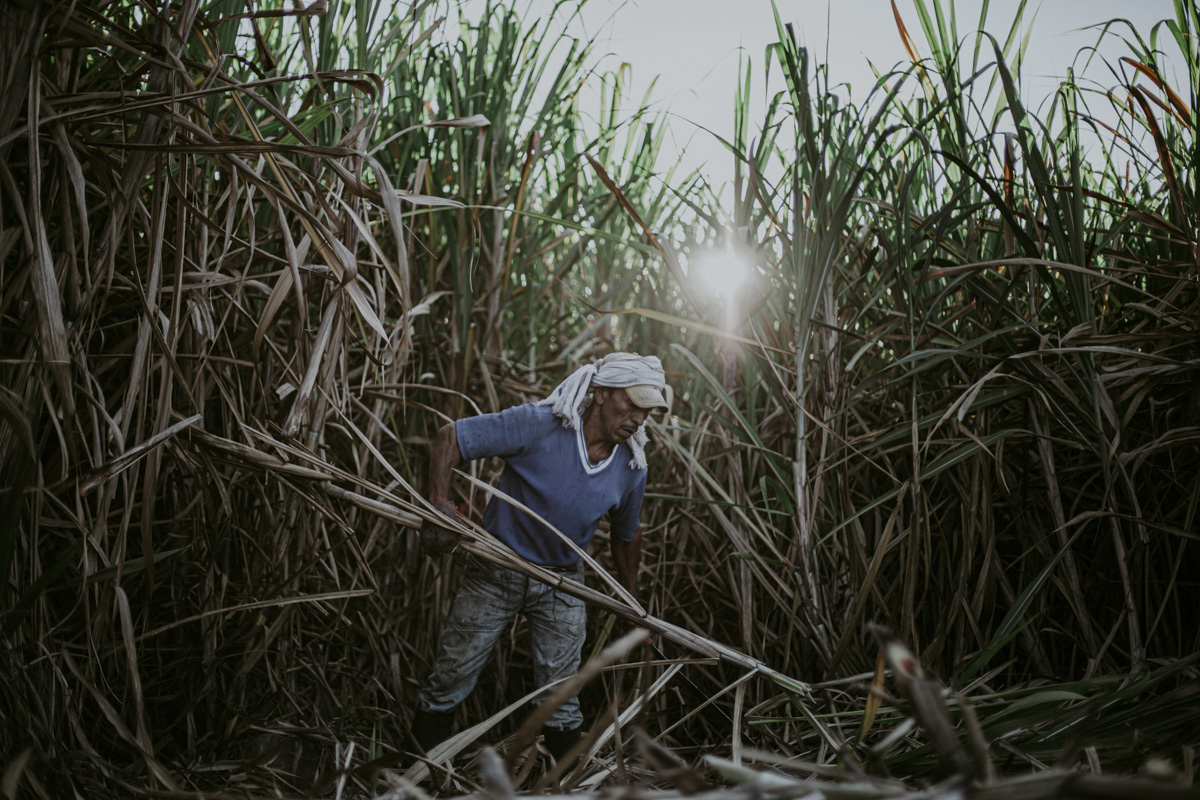 An idigenous man is gathering freshly cut stalks from a field of sugarcane that tower majestically over him, protecting him from the beating sun with their shade. Dried at the base, they blossom into long grass shaped leaves above. While he is hard at work, there is a stillness to this image, as though he is caught in a corn maze.